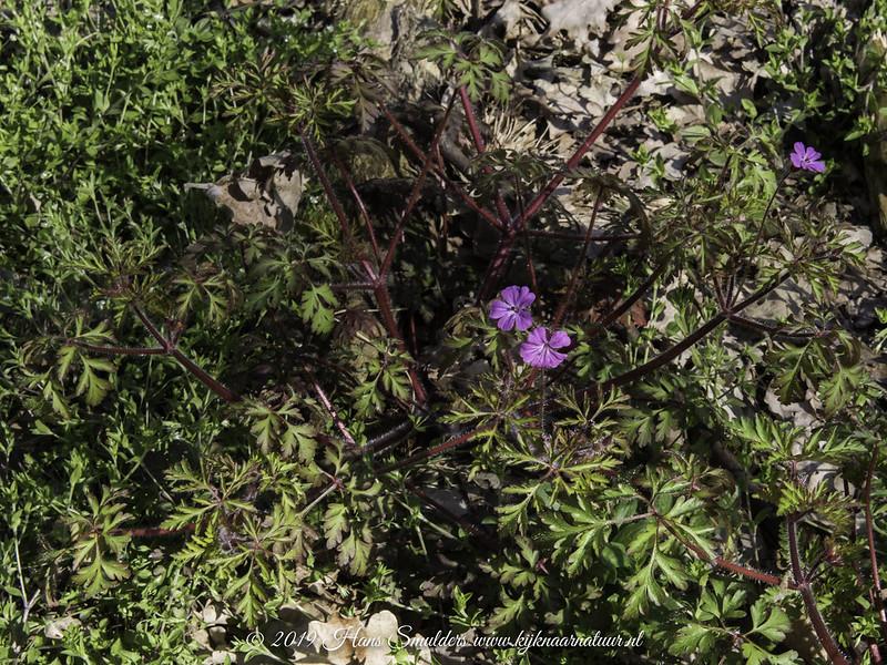 Robertskruid (Geranium robertianum)-819_1133