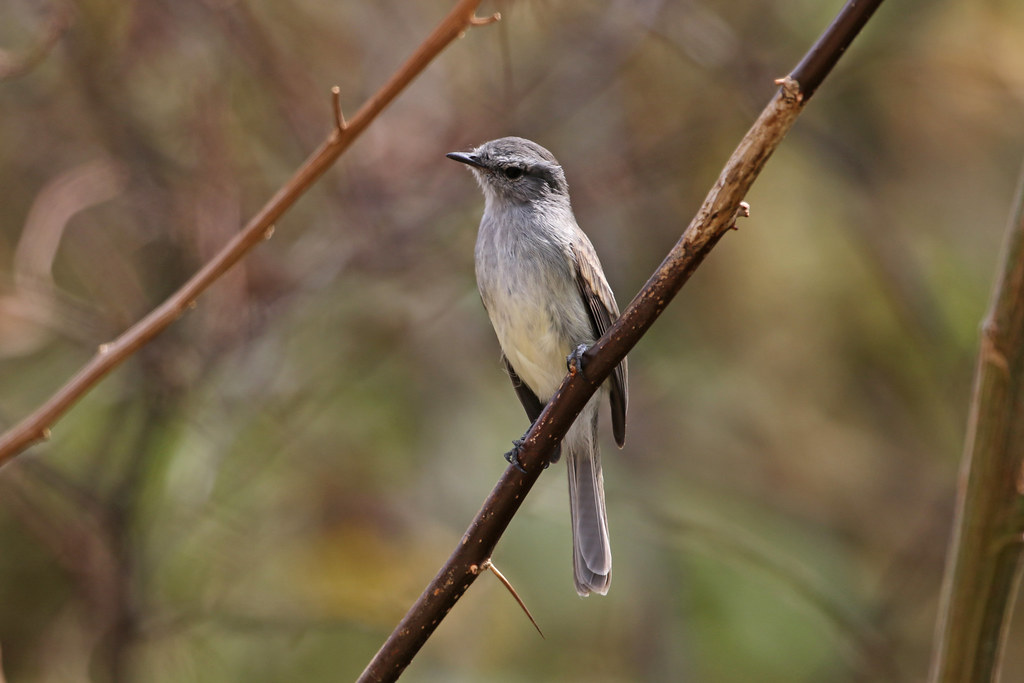 Mouse-colored Tyrannulet, Abra Porcuya, Peru October 2018