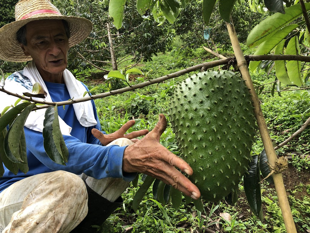 Giant Soursop Fruit - PermaTree, Ecuador