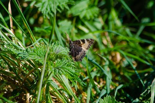Tortoiseshell butterfly resting on nettle