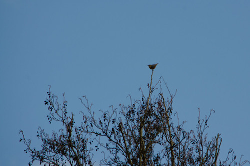 Nuthatch at top of tree, Worfield