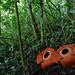 Rafflesia arnoldii by Arddu