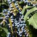 Au jardin, les fruits du mahonia  bealei, Bosdarros, Béarn, Pyrénées Atlantiques, Aquitaine, France.