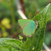 GREEN HAIRSTREAK 1704191 by gazza294