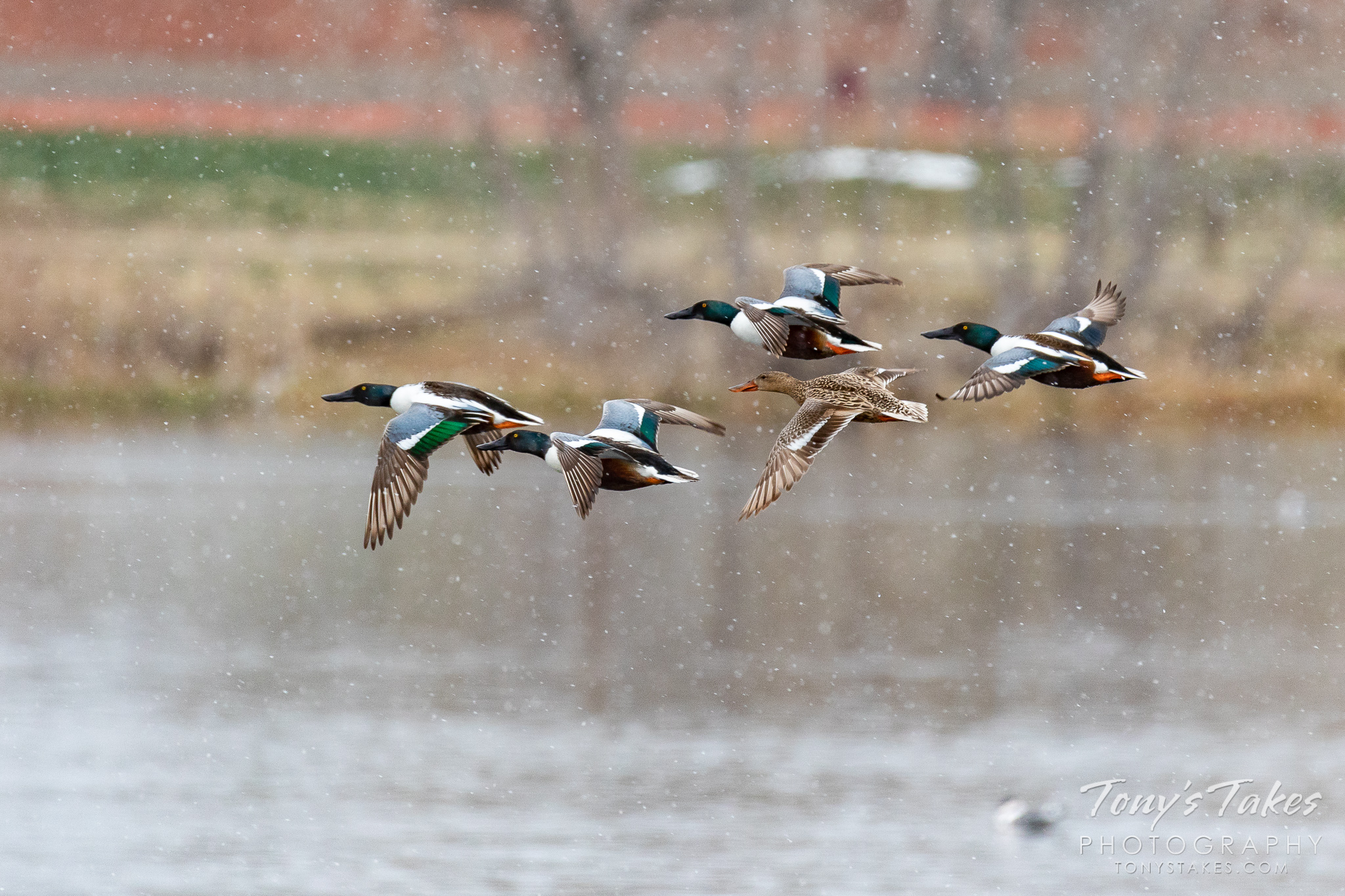 Northern shoveler ducks take flight in the snow in Adams County, Colorado. (© Tony's Takes)