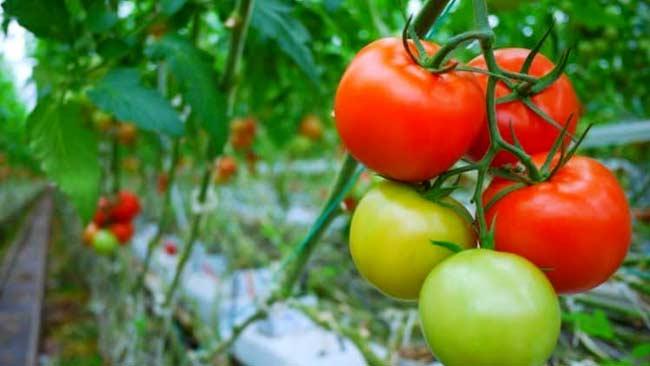 2-Tomat-Ini Buah dan Sayur yang Bisa Menggantikan Air Minum dan Atasi Kelelahan