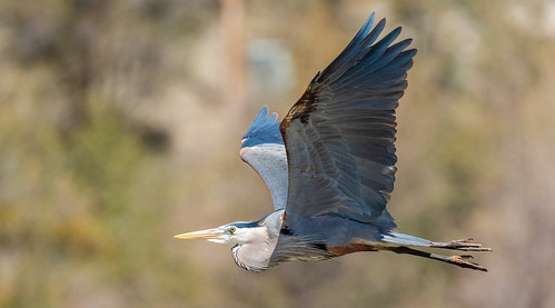 blue_heron_in_flight-20190417-100