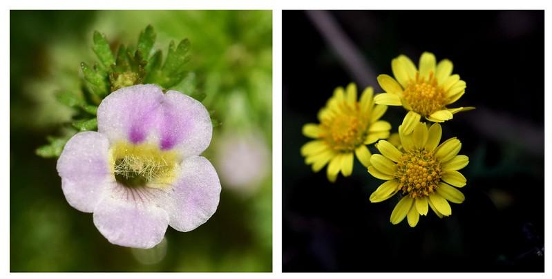 桃園石龍尾(左)、新竹油菊(右)。照片提供:林試所。
