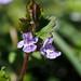 Glechoma grandis - Photo (c) Greg Peterson, algunos derechos reservados (CC BY-NC-SA)