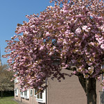 Cherry blossom at Maulands Preston