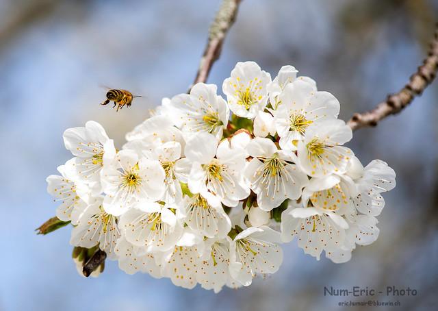 Les abeilles sont en pleine récolte!