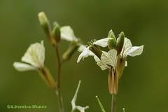 Arugula Flowering, Rúcula florindo,  El Salvador