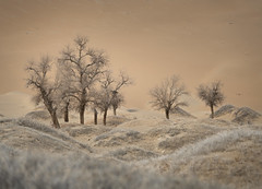 Gobi Cottonwoods