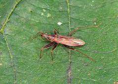 Heath Damselbug - Nabis ericetorum