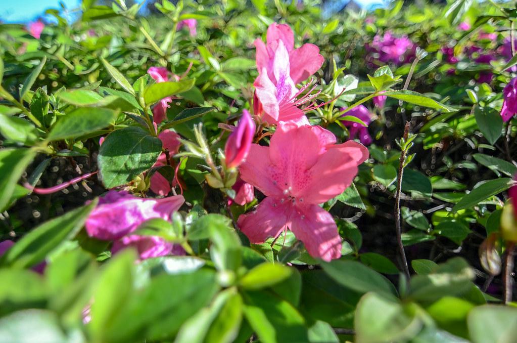 Pink flower MK
