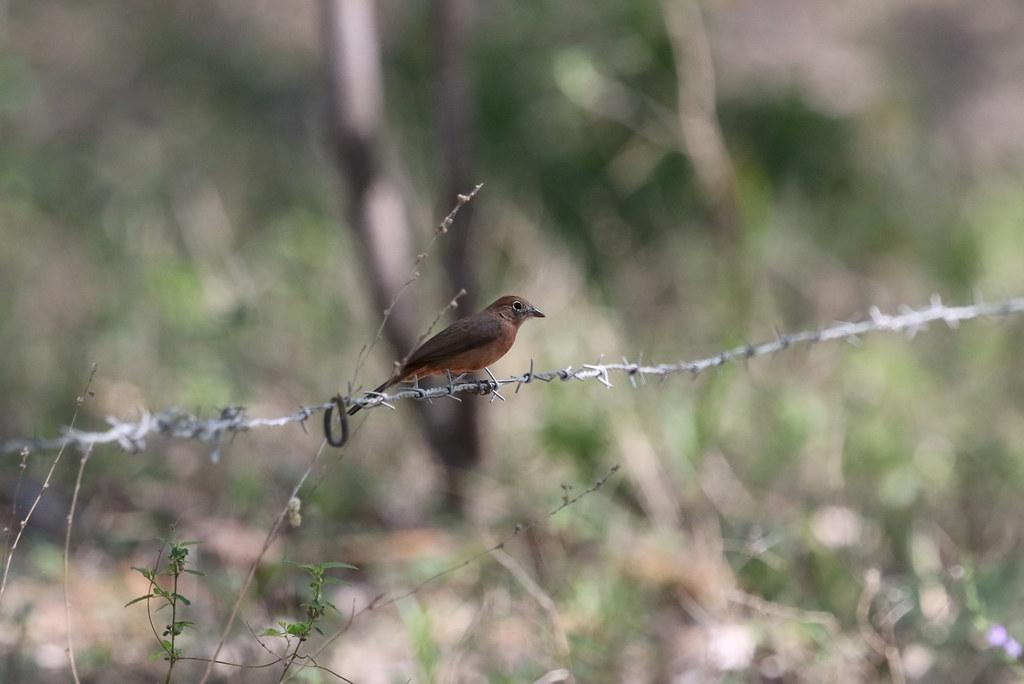 Red-crested Finch, Bosque Yanahuanca, Peru October 2018