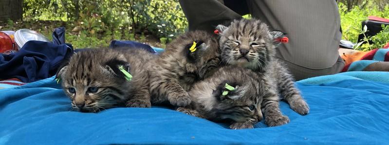 B-362's litter of kittens
