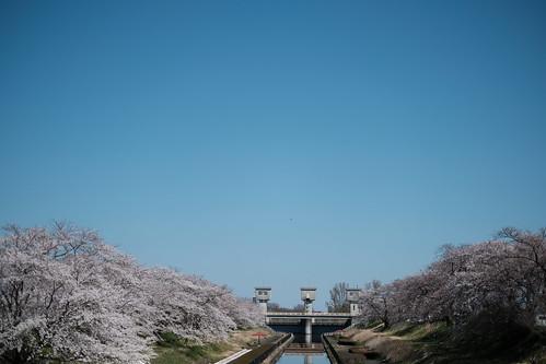 平成最後の桜を愛でる