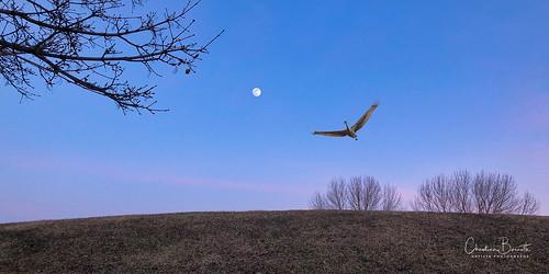 dusk fullmoon blue sky hill bird snowgoose