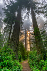 Redwoods and sun rays 1