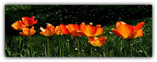 Tulipany.