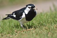 Magpie-lark male 作者 Luke6876