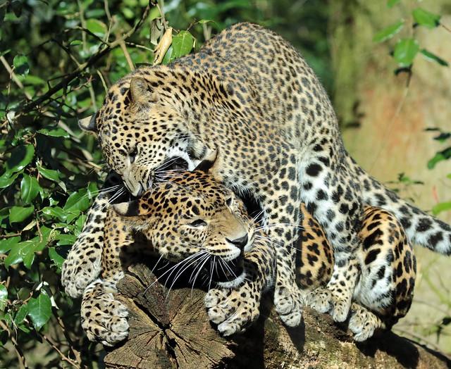 shrilankan panther Burgerszoo 094A0530
