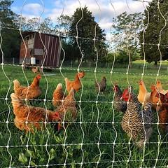 #pasturedpoultry #farmtoconsumer #farmtotable #knowyourfarmer