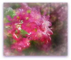 Flowering redcurrant (Ribes Sanguineum)
