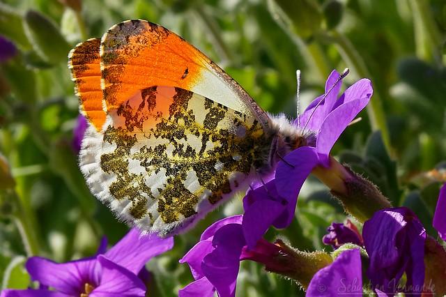Anthocharis cardamines ♂ - Aurore ♂ - Orange tip ♂