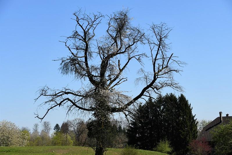 Tree, Baselstrasse farm 20.04.2019