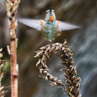 Humming Bird SR600559