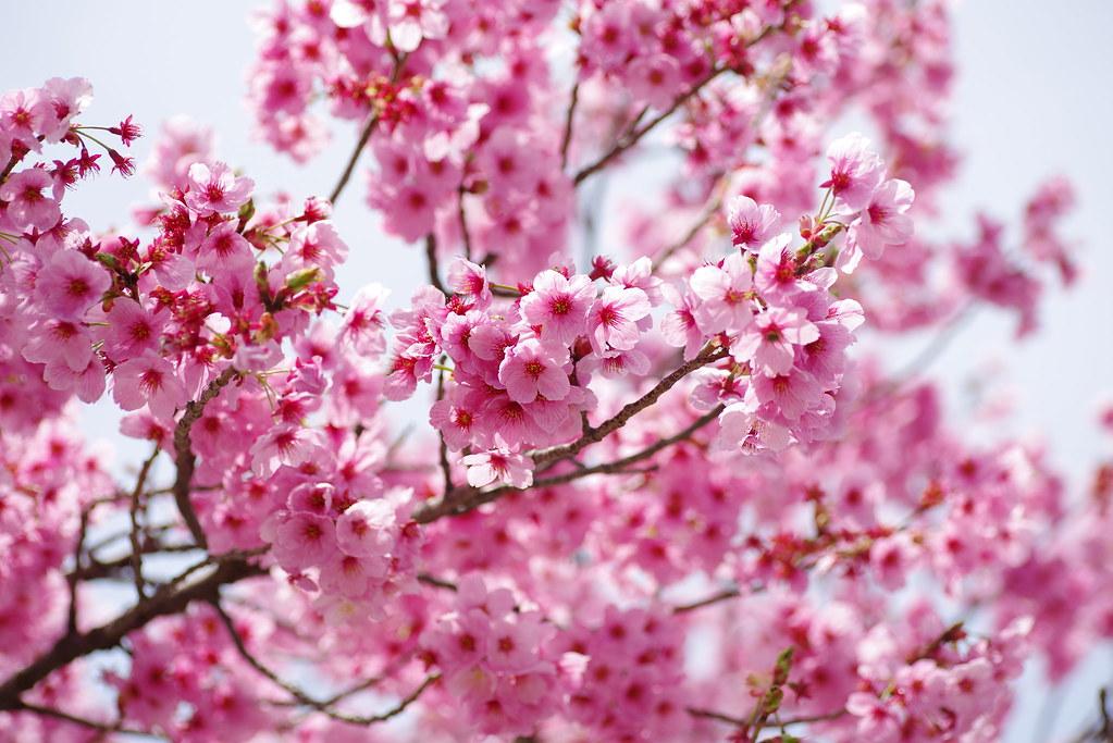Sakura 2019