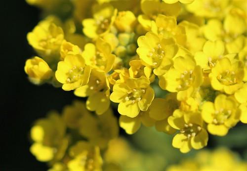 Aurinia saxatilis (= Alyssum saxatile) - aurinie des rochers, alysse corbeille d'or  32714018427_d70dd3ccf1