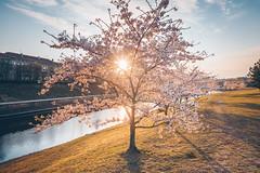 Sakura Park | Kaunas aerial #110/365