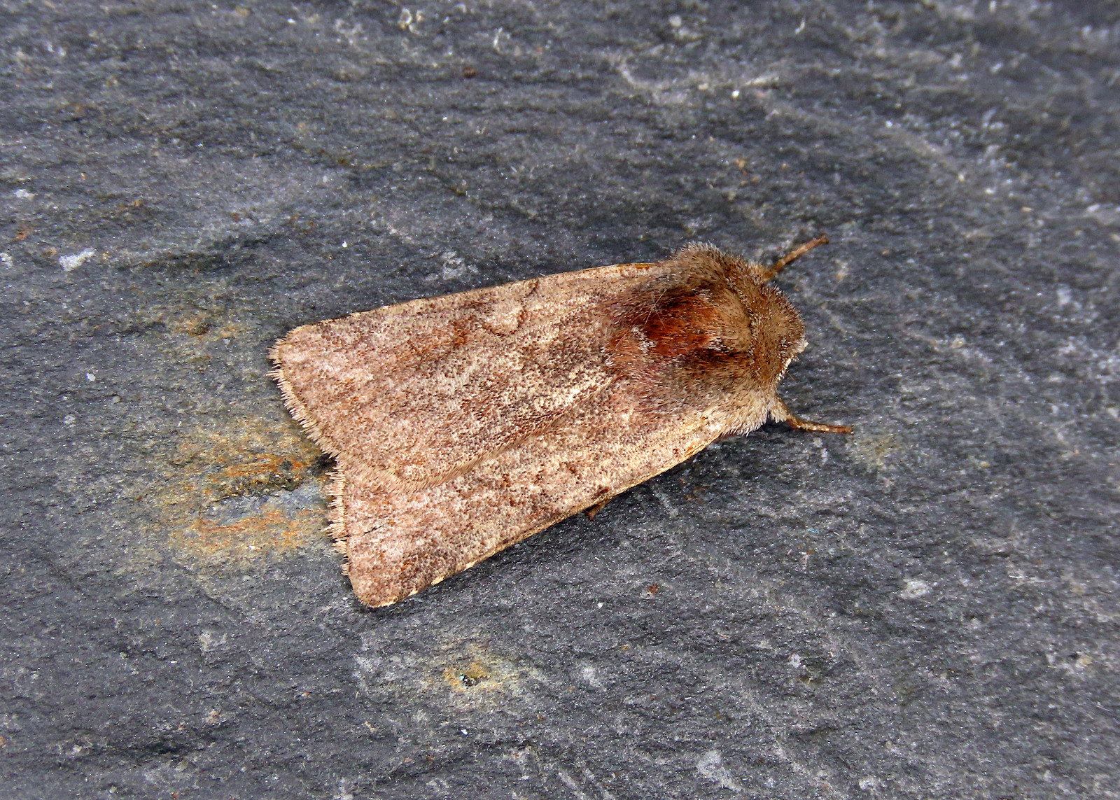73.336 Red Chestnut - Cerastis rubricosa