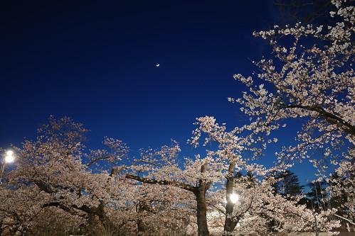 内野の夜桜 2019