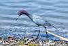 Little Blue Heron by bsomberg