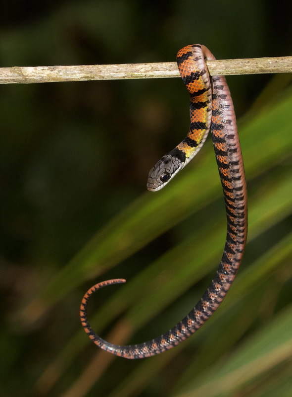Golden-bellied Snakelet, Erythrolamprus epinephelus Ascanio_Best Costa Rica 199A5975