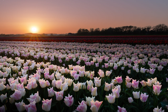 Tulip field and a sunset