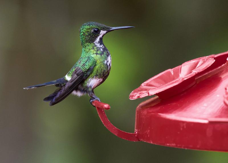 Green Thorntail, Discosura conversii Ascanio_Best Costa Rica 199A9063