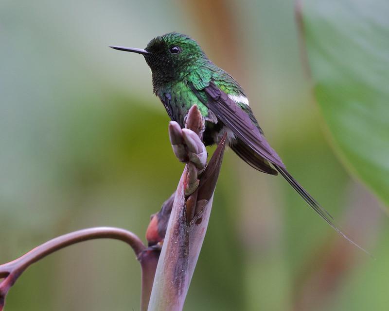 Green Thorntail, Discosura conversii Ascanio_Best Costa Rica 199A9051
