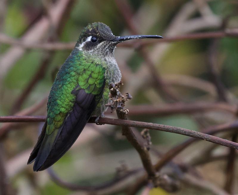 Talamanca Himmingbird, Eugenes spectabilis Ascanio_best Costa Rica 199A8249