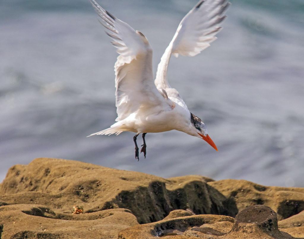 Royal Tern_8
