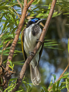 Blue Faced Honeyeater (2) | by bidkev1 and son (see profile)