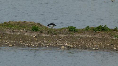 Oystercatcher and little ringed plover, Doxey