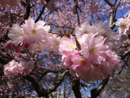 cherry blossoms 2019