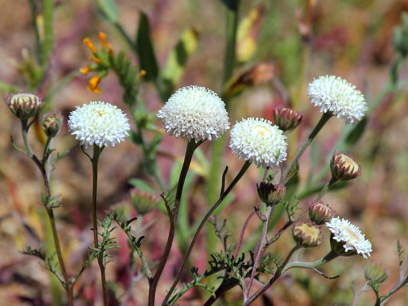 IMG_0625 Fremont Pincushion (Chaenactis fremontii)
