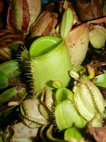 Nepenthes ampullaria terrarium