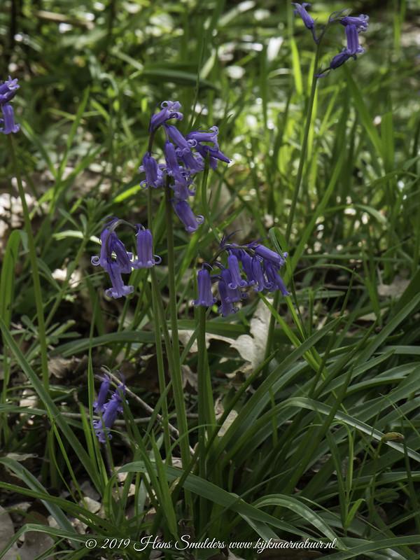 Wilde hyacint ( Scilla non scripta)-619_1589